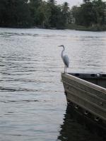 egret-on-rio-dulce-guatemala