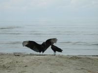 vultures-on-beach-guatemala
