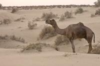 Grazing Camel.jpg