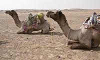 Resting Camels.jpg