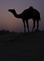 Sunset Camel.jpg