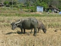 water-buffalo-pai-thailand