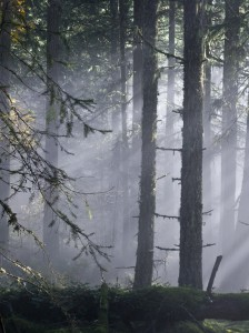 Sunlight filters through trees and fog in the forest.