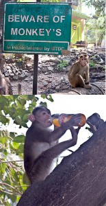 A monkey drinks a bottle of juice stolen from Faye.