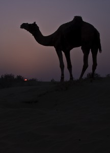 A camel grazes at sunset.